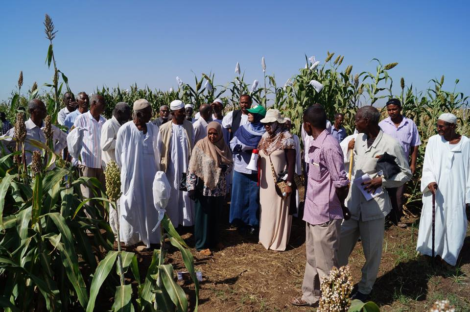 Halfa Al-Jadida Agricultural Research Station Field Day